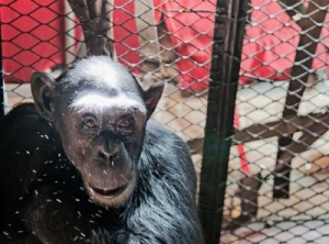 Gripping tale of chimpanzee Claude's rescue