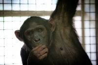 Chimp to make history giving birth online