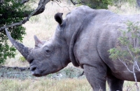 A contribution to rhino anti-poaching considerations