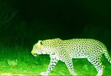 Cape Leopard spotted at Paarl wine farm