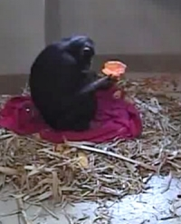Live chimp birth a success