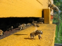 France plans to ban bee threatening pesticide