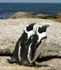 Tracking African Penguins' breeding patterns