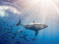 Great white shark granted new protection in California