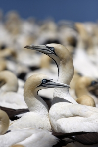 Bird Island celebrates centenary of gannet population