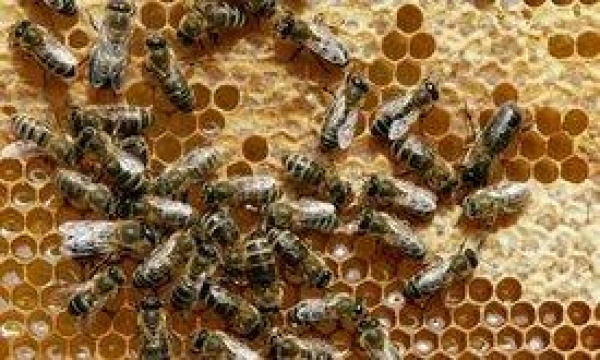 eu-bans-gm-contaminated-honey