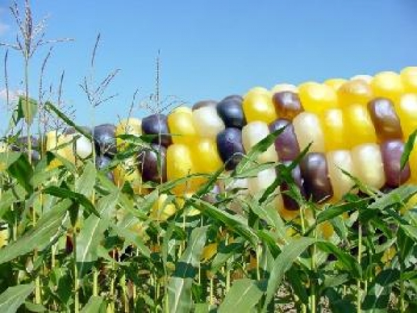 modified-maize-dumped-onto-african-markets