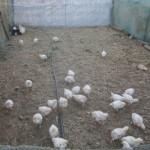 karoo_goat_cheese_arbeidsgenot_farm_lutzville4