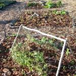 organic_vegetable_growing_adams_mulching2
