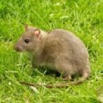 rat_lament_poetry_compost_heap_green_eco1
