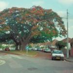 soil community_flamboyant_tree_green_street1