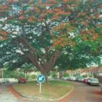soil community_flamboyant_tree_green_street2