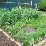 stoep_harvest_sam_adams_organic_garden_4