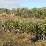 trees_for_tourism_forest_fynbos_planting_eco5