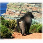 city-to-cull-cape-towns-baboons