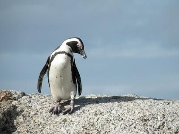 waddle-you-do-to-help-save-the-african-penguin?