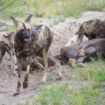 second-chance-for-african-wild-dogs