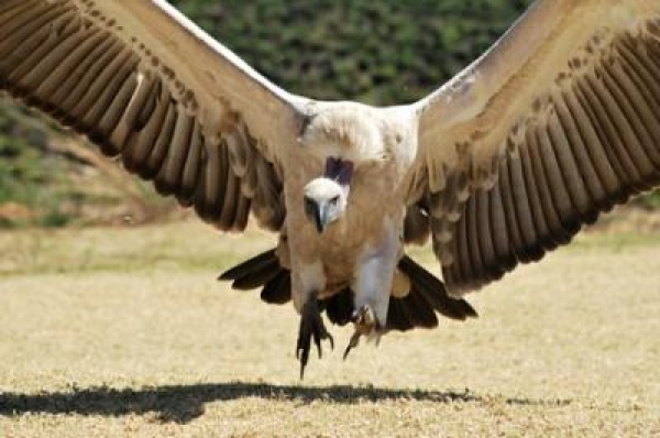 save-the-cape-vulture