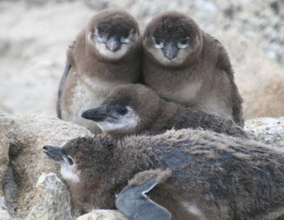 african penguin endangered birds chicks