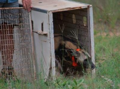 african wild dogs tembe release eco park 3