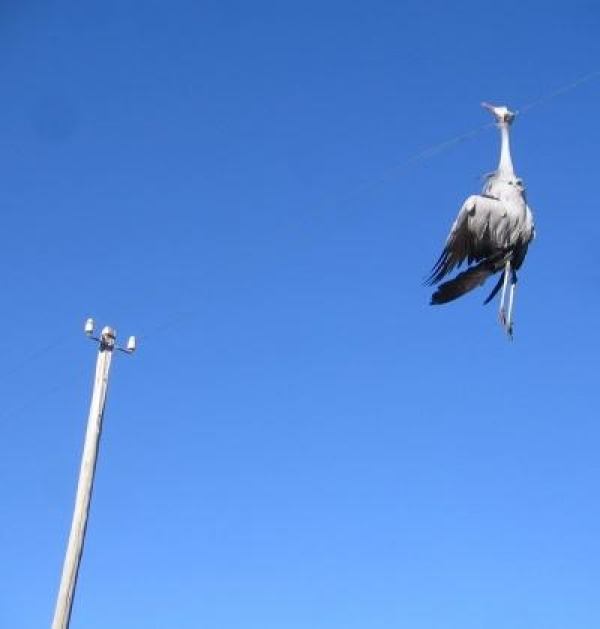 52-cranes-perish-in-the-karoo