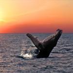 biomimicry_humpback_whale_green_news
