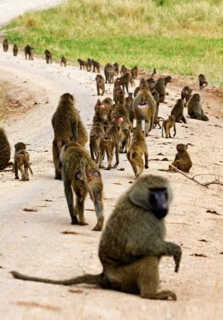 chacma baboon cape mahango reserve 2