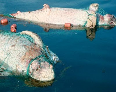 dugong endangered tangled green news