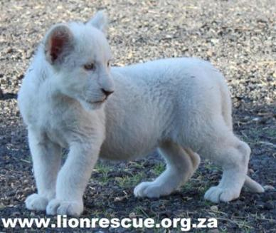 lion rescue adopt animal rescue green news