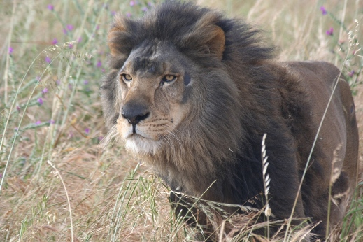 lion rescue adopt animal rescue green news2