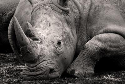 rhino foundation african black endangered 4