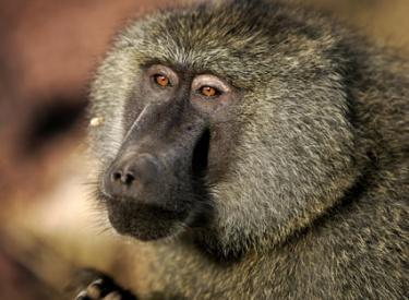 stop killing baboons mpumalanga un eco