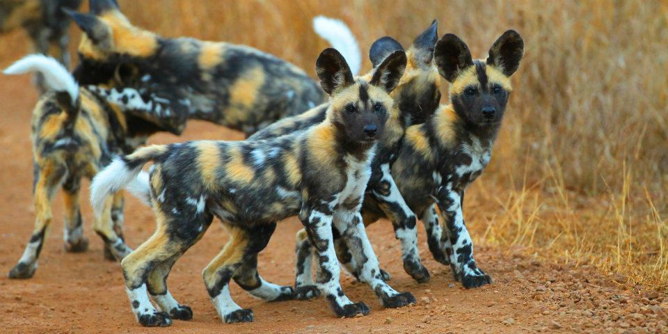 Woolies African Painted Dog