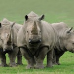 the-rhino-hunt-continues-3-more-horns-found