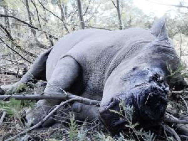 150-game-rangers-to-stop-rhino-poaching-in-kruger