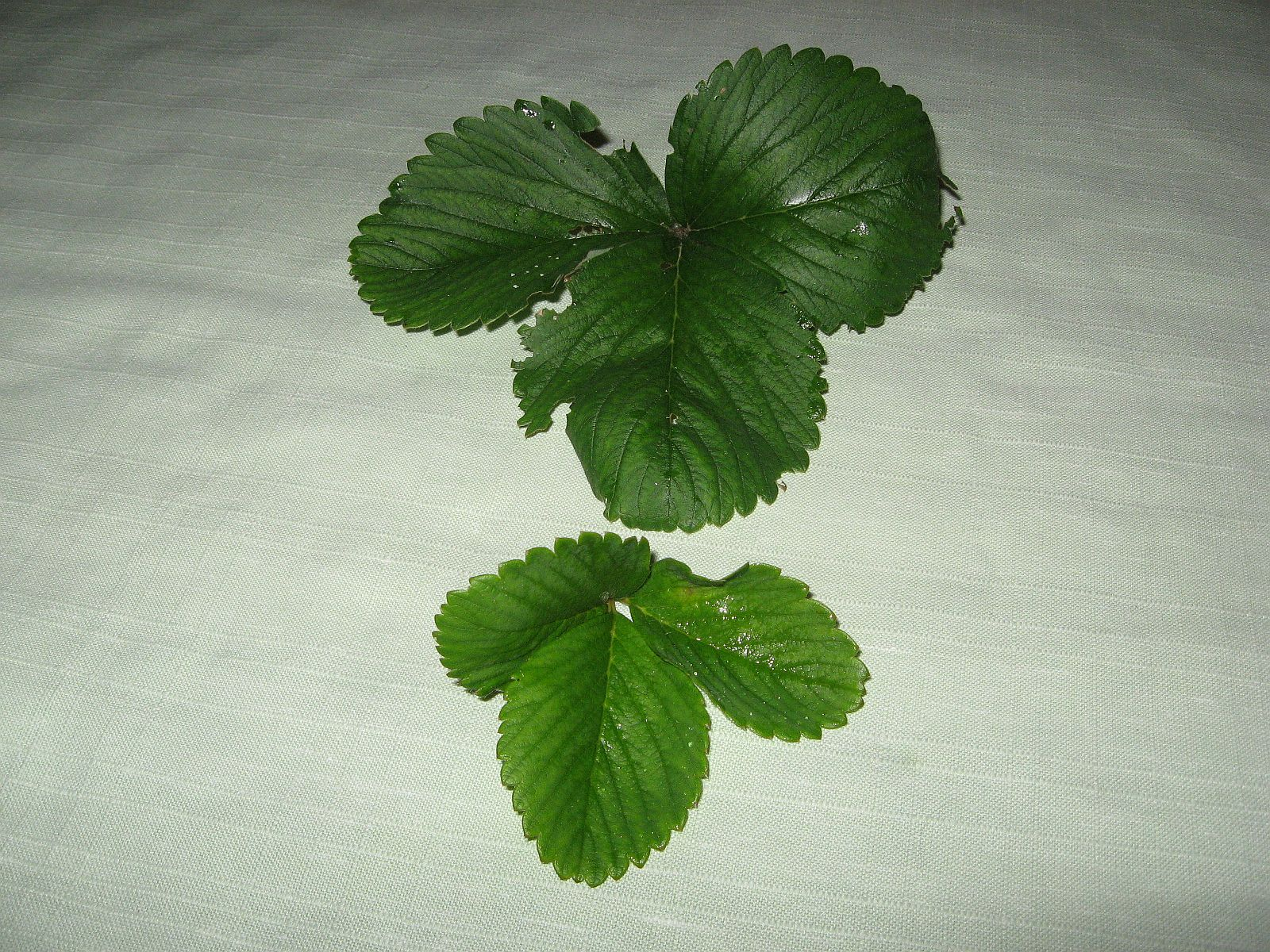 Natalies strawberry leaves