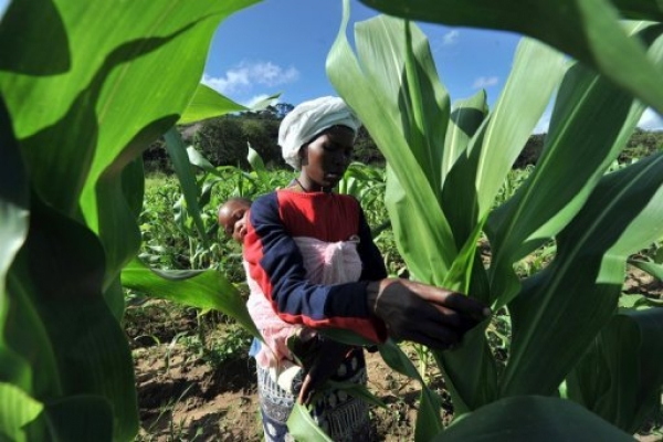 zimbabwe-faces-1mn-tonne-maize-deficit