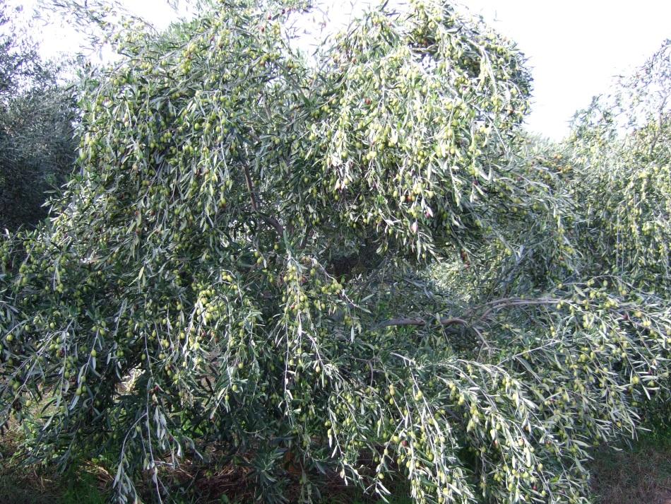 organic pioneers - olive farming3