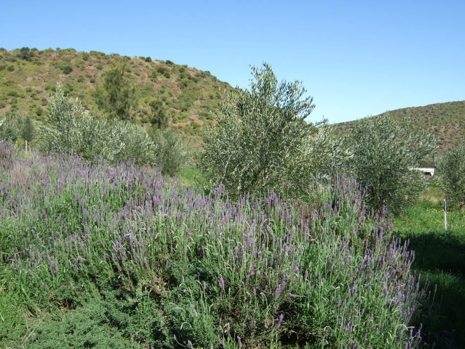 organic pioneers - olive farming4