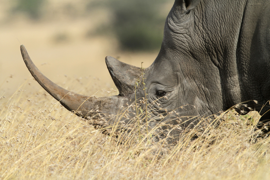 International year of the rhino - White Rhino