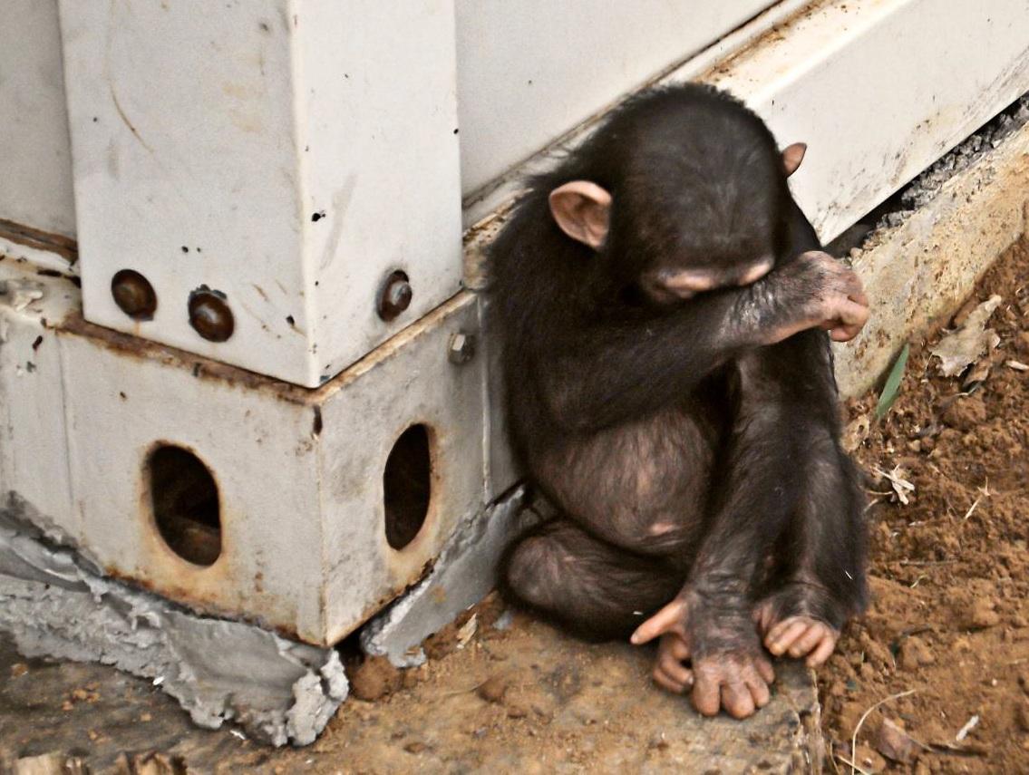 Jane Goodall saving baby chimpanzee -2