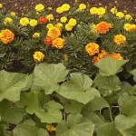 companion planting - marigold and squash