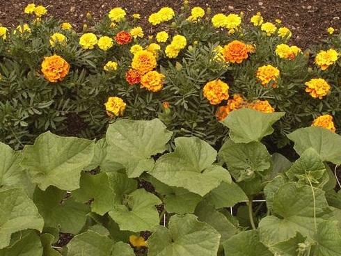 companion planting - marigold and squash