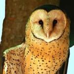 owls-suffer-from-disturbance-poor-habitat