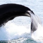 close-to-shore-humpbacks-are-far-from-safe