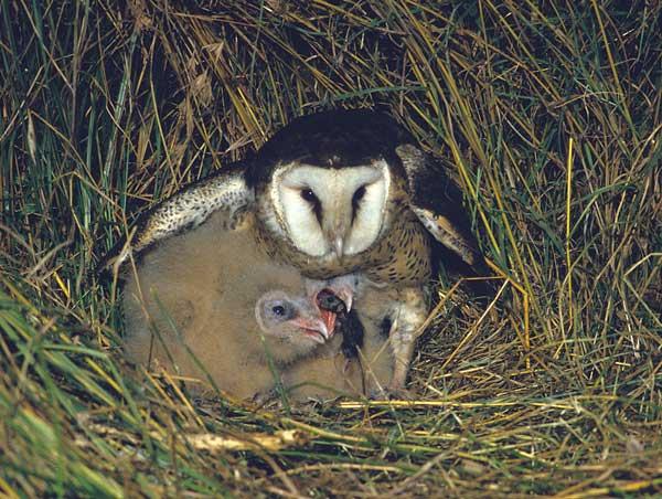 African Grass Owl 2