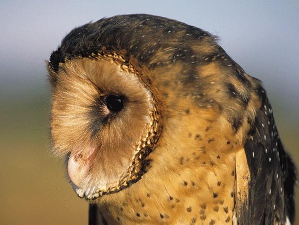 African Grass Owl 3