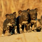 wag-sa-website-launched-for-wild-dog-salvation