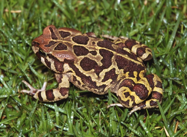 Western Cape Leopard Toad