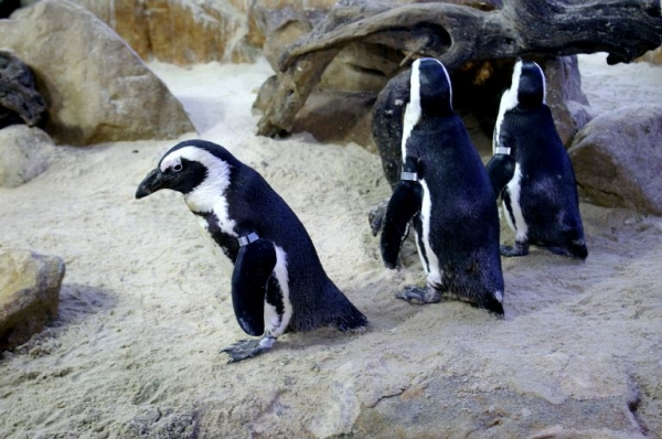 waddling-for-the-penguins
